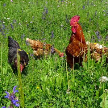 Rooster and hens on a trip to the flower meadow