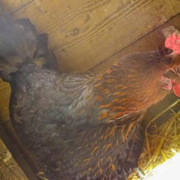 Our chickens on the farm enjoy the run