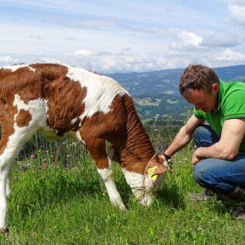 Farmer Oswald with a Simmental calf